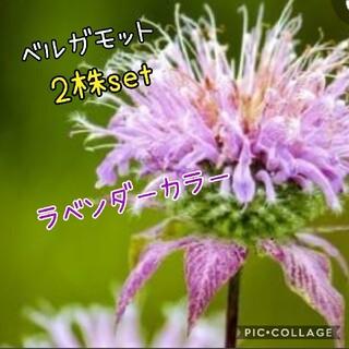 ベルガモット ラベンダー花苗 2株set(その他)