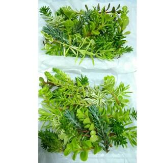 約300g999円【送料無料】多肉植物 カット苗 セダム 寄せ植えにも(プランター)