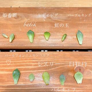 * 多肉植物 葉挿し 10種セット * 小さなサイズ♡(その他)