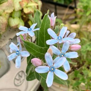 オキシペタラム(ブルースター)種30粒(その他)