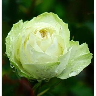 苗の状態最良! 白~淡いグリーン系のバラ 挿し木苗(大)(その他)