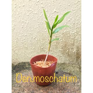 洋蘭原種 Den.moschatum 高芽株(プランター)