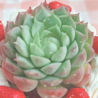 多肉植物 シャーロットローズ 1苗(その他)