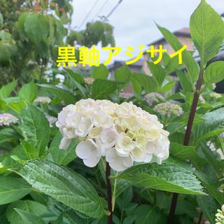 紫陽花 黒軸アジサイ ★白花 苗a(その他)