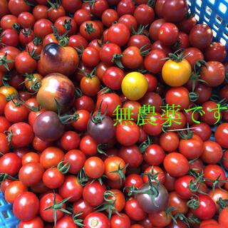 本日朝採り 無農薬 トマトセット 箱込み1.1kg(野菜)