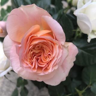 ミニ薔薇苗 マースランド2色寄植えセット(その他)