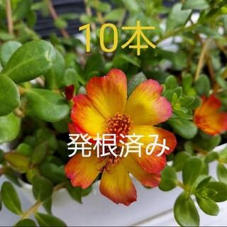 ポーチュラカ 発根苗 10セット オレンジ(その他)