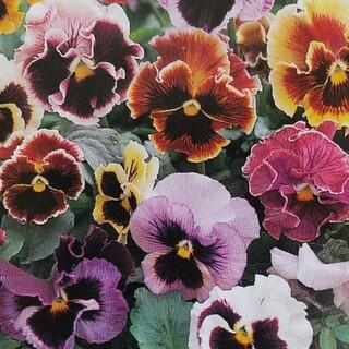 花の種        パンジーフラメンコミックス+おまけ(その他)