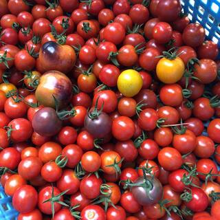 本日朝採り 無農薬 トマトセット ブラックチェリー多め 箱込み1.1kg(野菜)