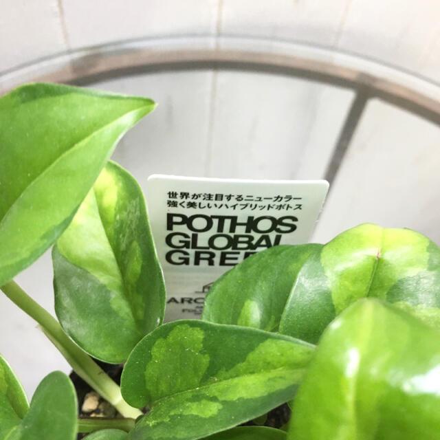 最新品種 ポトス グローバルグリーン 3号ポット ハンドメイドのフラワー/ガーデン(プランター)の商品写真