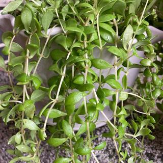 多肉植物✴︎ ツルマンネングサ カット苗(プランター)