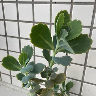 胡蝶の舞  カット苗3本  多肉植物(その他)