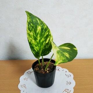 ポトス ゴールデン ミニ苗  観葉植物(その他)