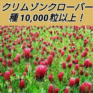 クリムゾンクローバー(ストロベリーキャンドル)種子10000粒以上(その他)