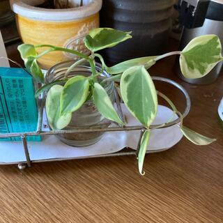 観葉植物 根付き3本(その他)