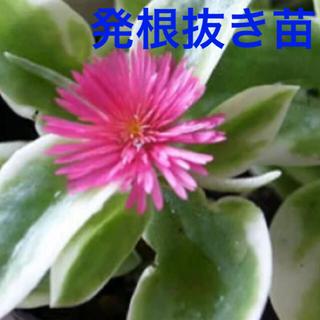 斑入りベビーサンローズ 花蔓草錦 抜き苗(プランター)