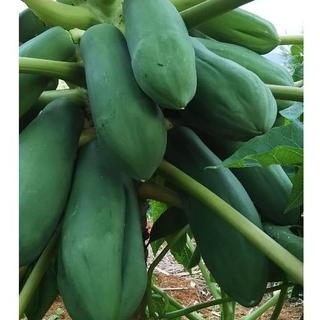 K0820『青パパイヤ 3キロ』島野菜 タイアジア食材 グリーンパパイヤ(野菜)