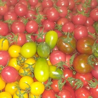 低農薬・完熟収穫ミニトマト約1.8キロ(野菜)