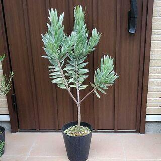 大苗♪リューカデンドロンシルバーツリー鉢植え オージープランツ苗 ロックガーデン(ドライフラワー)