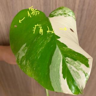 斑入りモンステラ③ ホワイトタイガー 即購入可(その他)