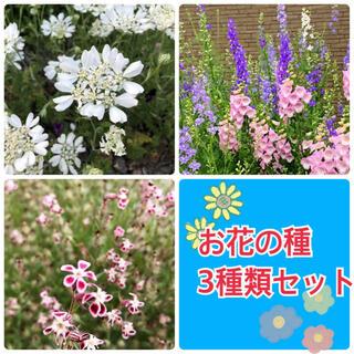 お花の種 3種類セット ✿ オルレアホワイトレース・シレネガリカ・千鳥草(その他)