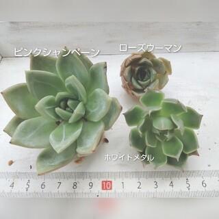 ⑨ 韓国苗   3苗set(その他)