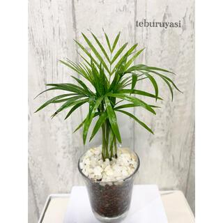 テーブルヤシ 観葉植物 ハイドロカルチャー(ドライフラワー)