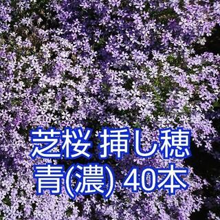 芝桜 挿し穂 青(濃)40本(その他)