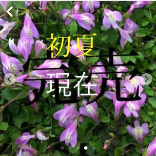 サギゴケ ピンク 抜き苗  3芽 コロナ為関東より南発送見合わせ中(その他)