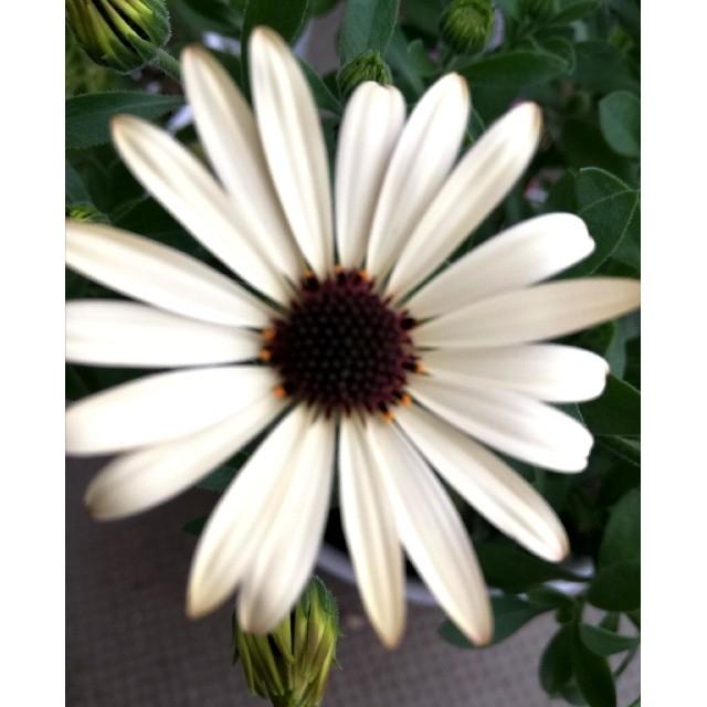 ♡オステオスペルマム♡1苗 ハンドメイドのフラワー/ガーデン(プランター)の商品写真