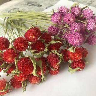 千日紅 ドライフラワー 茎つき 60本 約10〜20cm ピンク 赤 セット(ドライフラワー)