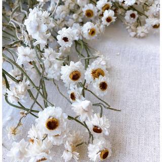 アンモビュームドライフラワー ドライフラワー花材 スワッグ花材 インテリア花材(ドライフラワー)