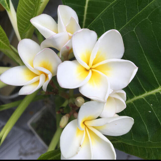 プルメリア約30㎝白苗木ホワイト花(その他)