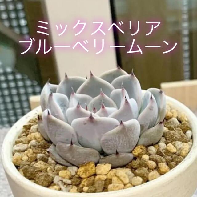 多肉植物 おらいさん苗 ブルーベリームーン ミックスベリア ハンドメイドのフラワー/ガーデン(ドライフラワー)の商品写真