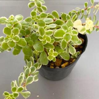 多肉植物✴︎ 覆輪丸葉万年草 根付き抜き苗(プランター)