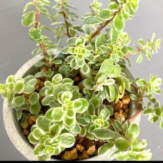 Hokuo様専用 多肉植物✴︎ 覆輪丸葉万年草 根付き抜き苗(プランター)