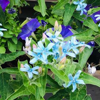 オキシペタラム ブルースター 種80粒(その他)