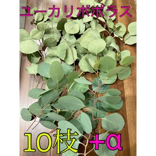 ユーカリポポラス10枝【ドライフラワー】(ドライフラワー)