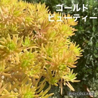 多肉植物 ゴールドビューティー セダムカット苗20カット(その他)