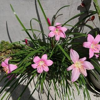 ピンクの花が咲きます。球根10個(その他)