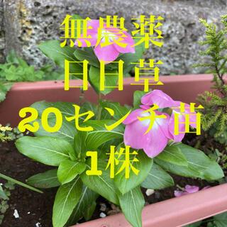 無農薬 日日草 ピンク 1株苗 20センチ ニチニチソウ 日々草(その他)