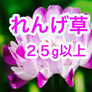 【最安、説明書付き】レンゲ草(れんげ草、蓮華草)種たっぷり25g[2500粒](その他)