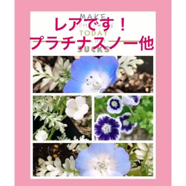 9月から撒き時に ネモフィラ 4種類  計100粒 ハンドメイドのフラワー/ガーデン(プランター)の商品写真