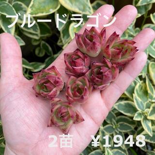 【人気品種】エケベリア 青龍 ブルードラゴン 2苗セット 小苗 多肉植物 韓国苗(その他)
