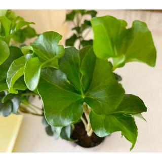 観葉植物 アイビー ヘデラ苗(プランター)