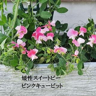 秋まき 花の種 矮性スイートピー・ピンクキュピット 種 25粒(その他)