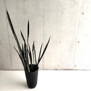 多肉植物 サンスベリア オーストラリアンブラック H160cm 7号【値下げ】(その他)
