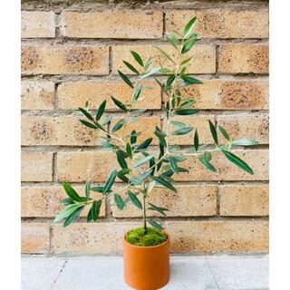 オリーブ《ピクアル》の苔盆栽(その他)