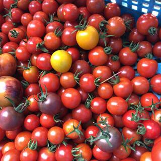 朝採り無農薬 トマトセット 箱込み1kg(野菜)