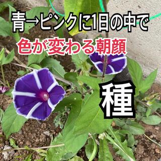 無農薬 あさがお 朝顔の種 アサガオの種 色が青からピンクに変わる2020年秋産(その他)